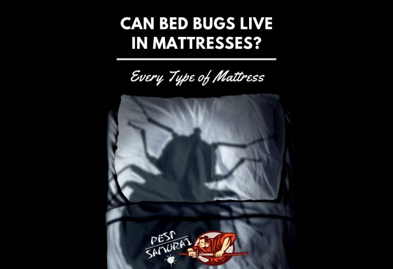 Can Bed Bugs Live in Mattresses (Every Type of Mattress).