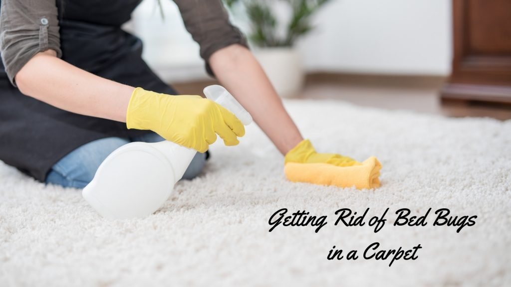 How to Get Rid of Bed Bugs in Carpet