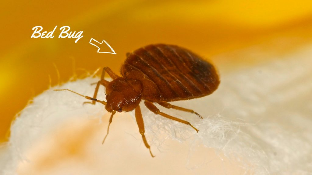 Sensational How To Get Rid Of Bed Bugs In Couch Easy Instructions Machost Co Dining Chair Design Ideas Machostcouk
