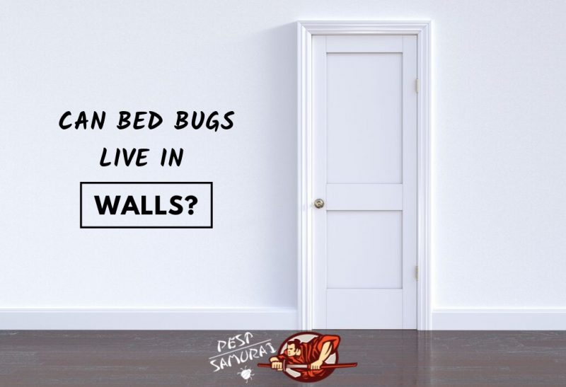 Bed Bugs On Walls Can Bed Bugs Live In Walls Pest Samurai