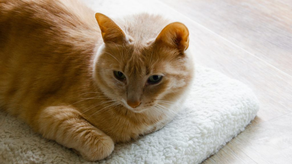 Can Cats Carry Bed Bug Eggs