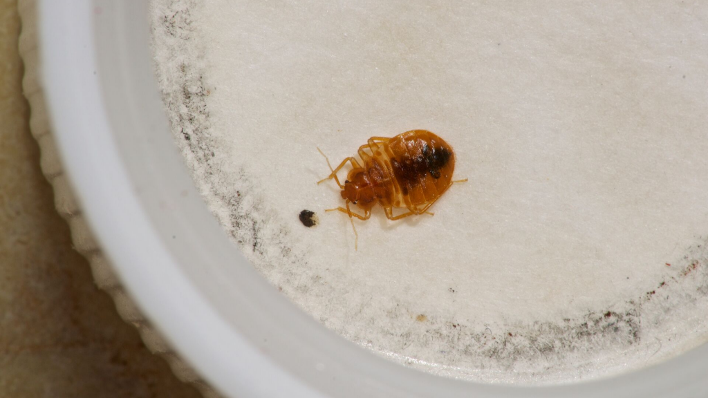 Bed Bugs In Water Can Bed Bugs Survive In Water Pest Samurai