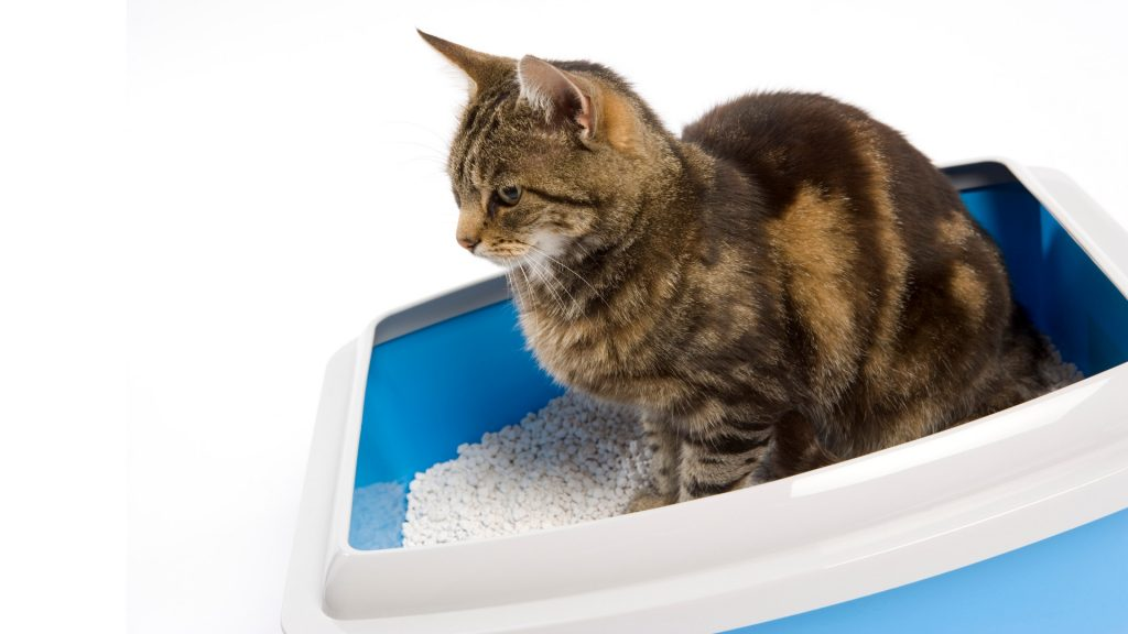 Do Bed Bugs Live in Cat Litter