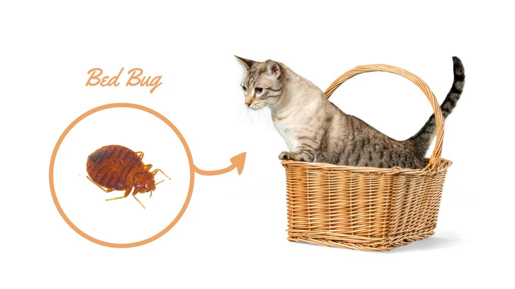 Do Bed Bugs Live on Cats