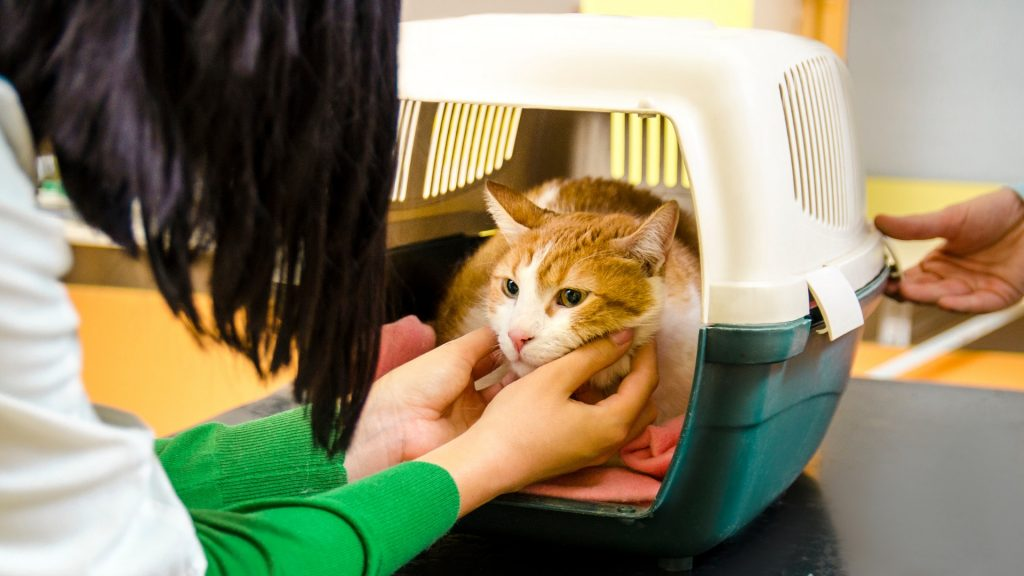 How to Get Rid of Bed Bugs on Cats - Step by Step Instructions