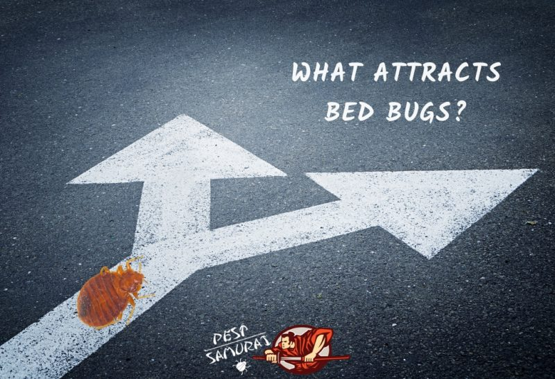 Bed Bug Preferences What Attracts Bed Bugs