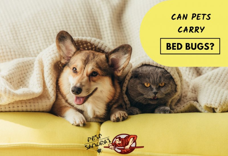 Bed Bugs and Pets Can Pets Carry Bed Bugs