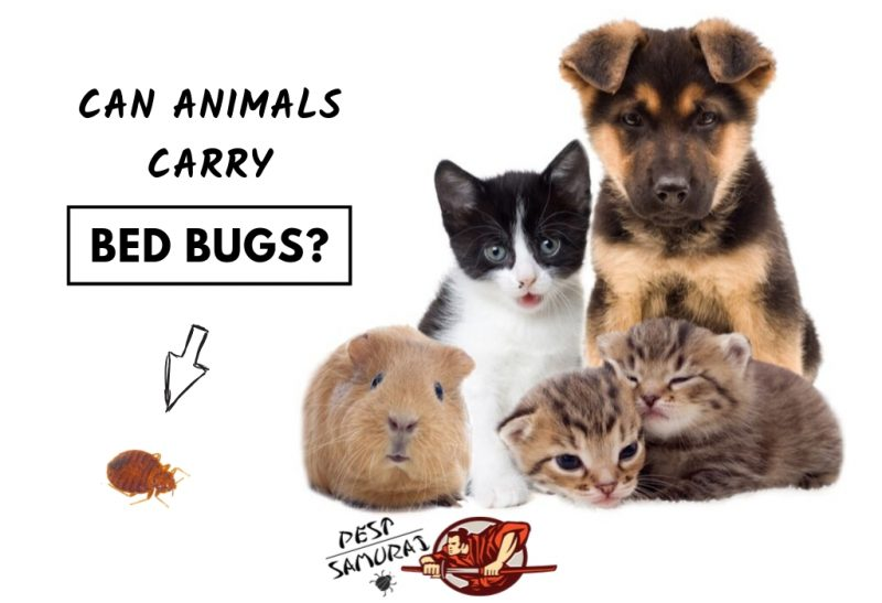 Bed Bugs on Animals Can Animals Carry Bed Bugs