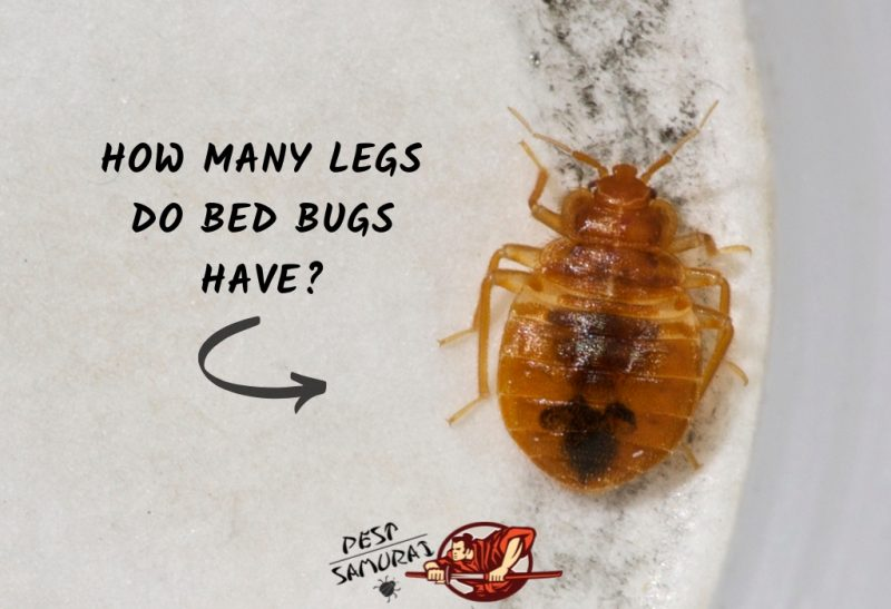 How Many Legs Do Bed Bugs Have