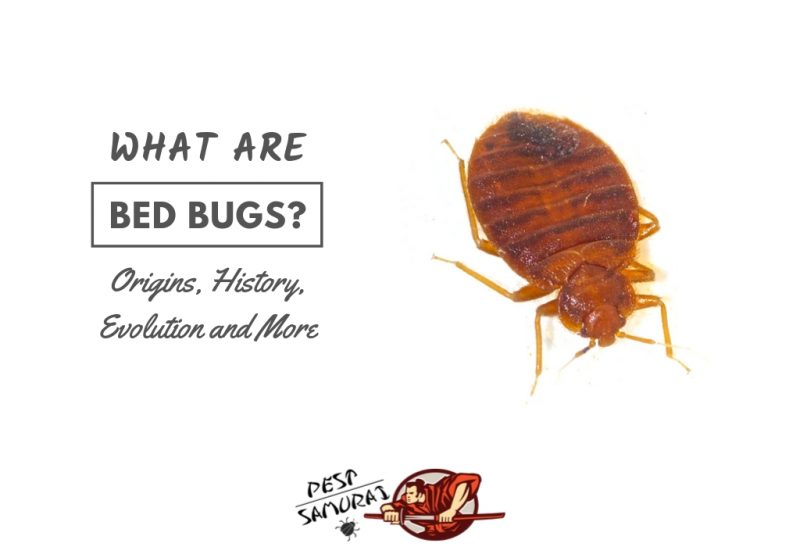 What Are Bed Bugs (Origins, History, Evolution & More)