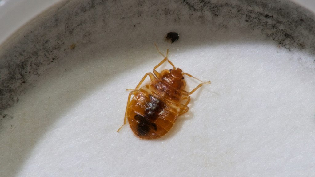 Alive Bed Bugs