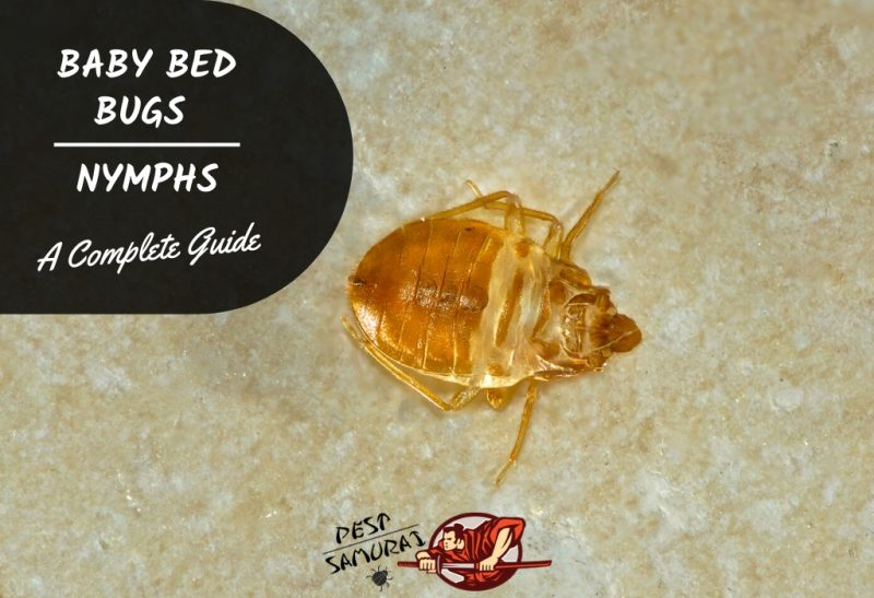 Baby Bed Bugs Nymphs Facts Size And How To Identify Pest Samurai