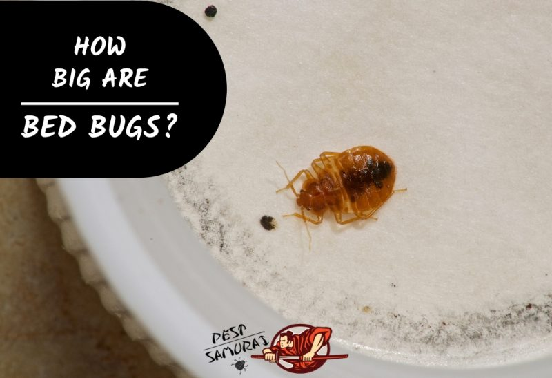 How Big Are Bed Bugs A Helpful Size And Identification Guide Pest Samurai