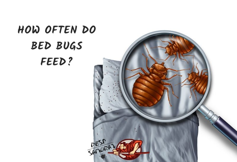 How Often do Bed Bugs Feed