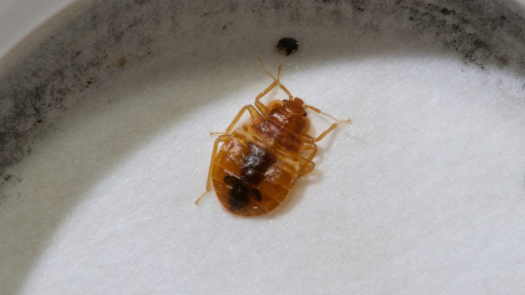How do Bed Bugs Look