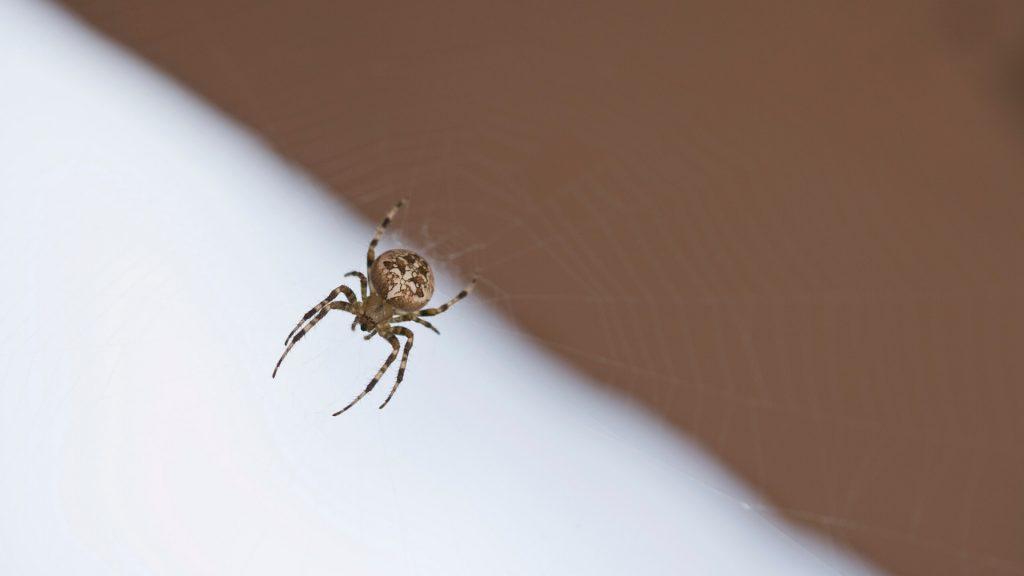 Bed Bug Bites vs Spider Bites
