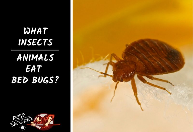 Bed Bug Predators What InsectsAnimals Eat Bed Bugs