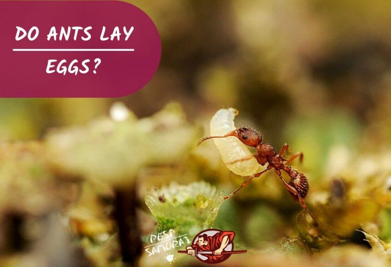 Do Ants Lay Eggs