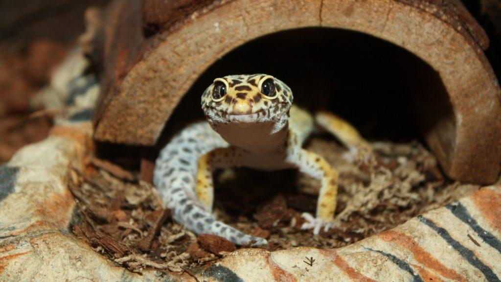 Gecko – Bed Bugs Lizard Enemy