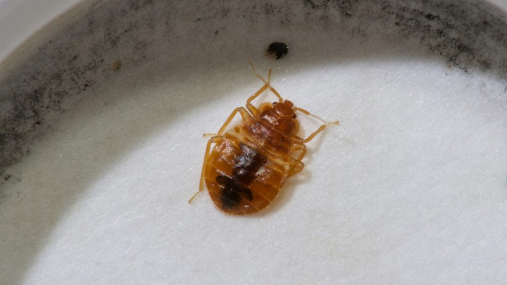 How Effective Is Borax Powder In Killing Bed Bugs