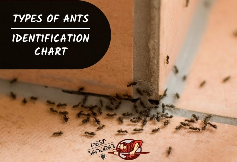 How Many Types of Ants Are There Ant Identification Chart