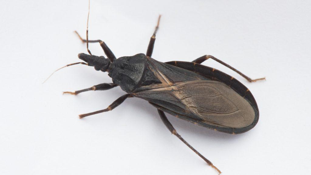 Masked Hunter – Bed Bugs Natural Enemy