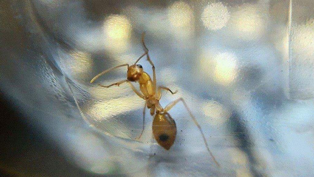 Pharaoh Ants.