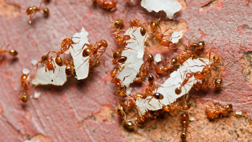 Red Imported Fire Ants.