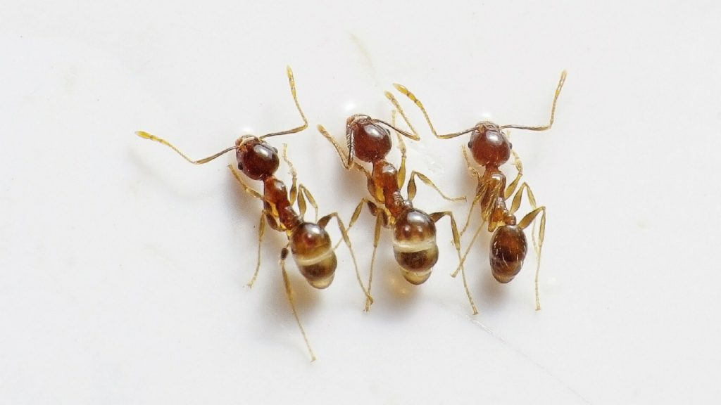 Rover Ant.