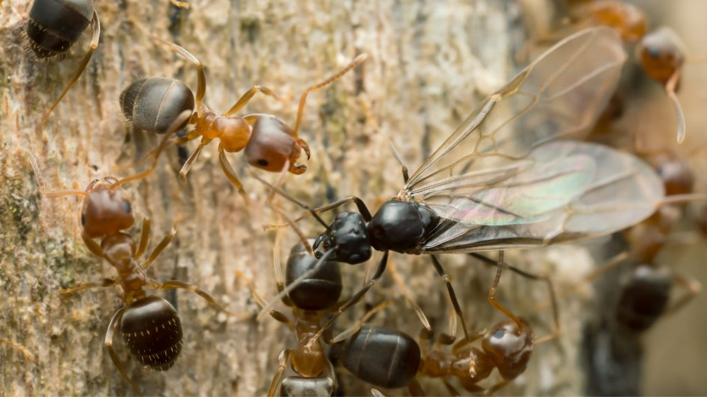 The Process Of Ant Reproduction