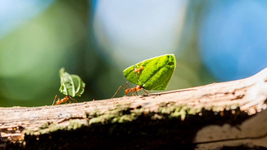 What Do Leafcutter Ants Eat