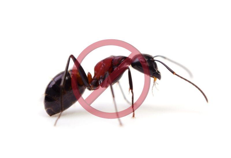 What Kills Carpenter Ants..