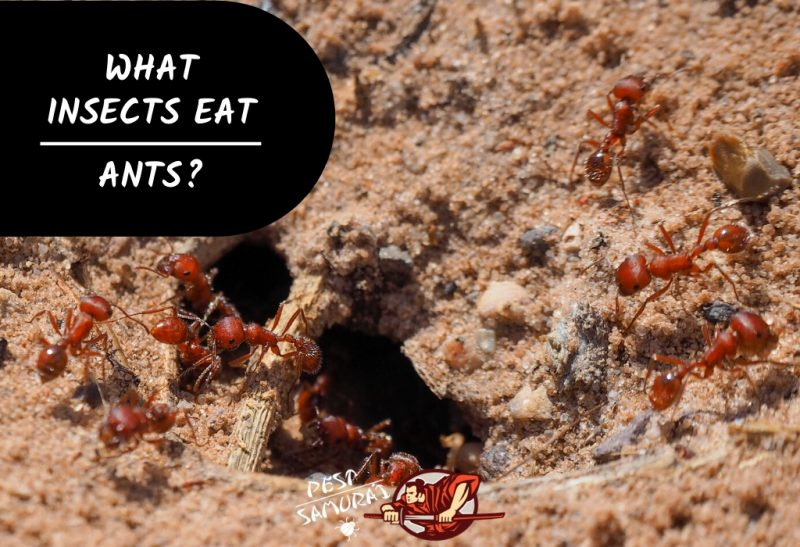 Ant Predators What Insects Eat Ants