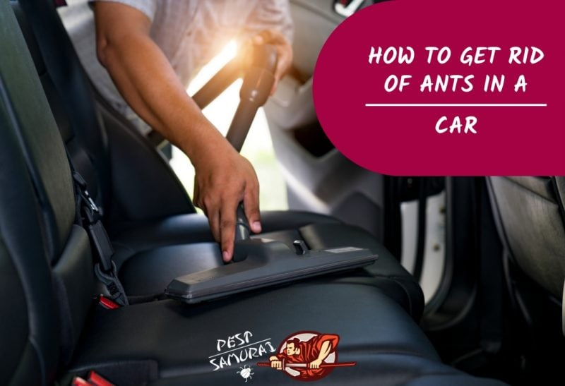 Ants in Car How to Get Rid of Ants in Car