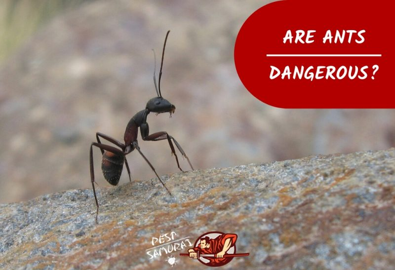 Are Ants Dangerous to Your Home, Health, and Environment