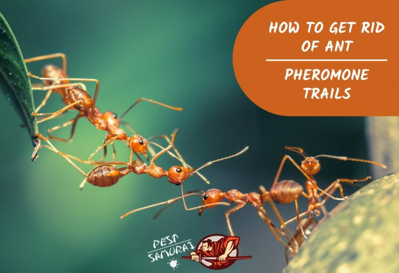 How to Get Rid of Ant Pheromone Trails