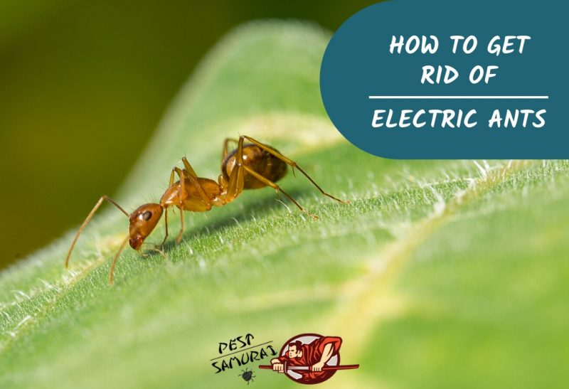 How to Get Rid of Electric Ants A Complete Guide