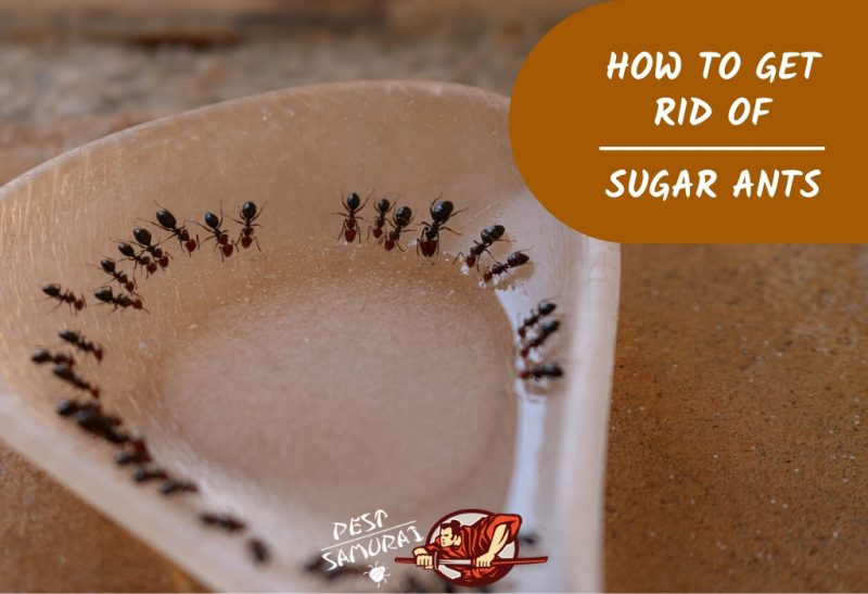 How to Get Rid of Sugar Ants in the House