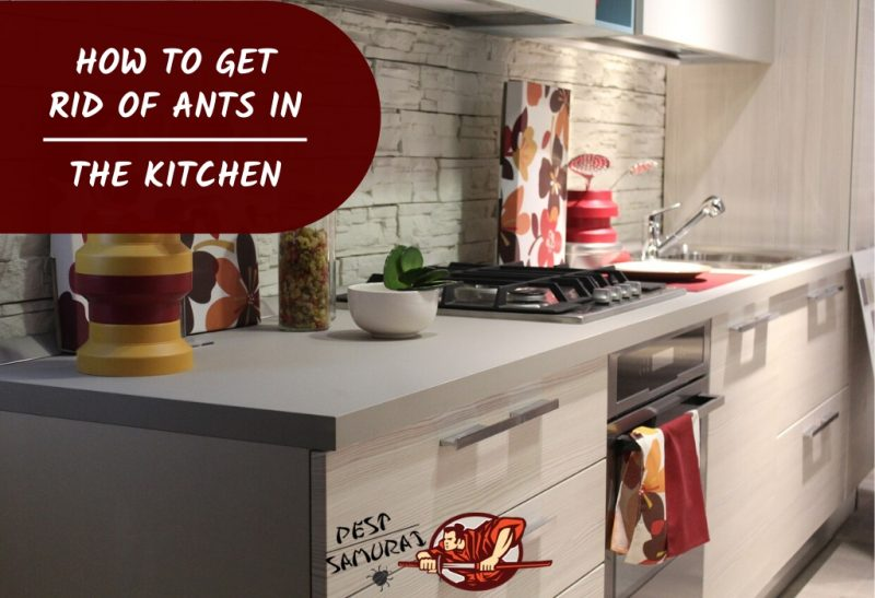 Ants In Kitchen How To Get Rid Of
