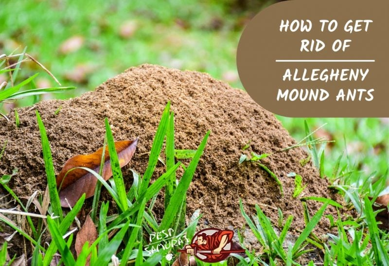 How to Get Rid of Allegheny Mound Ants