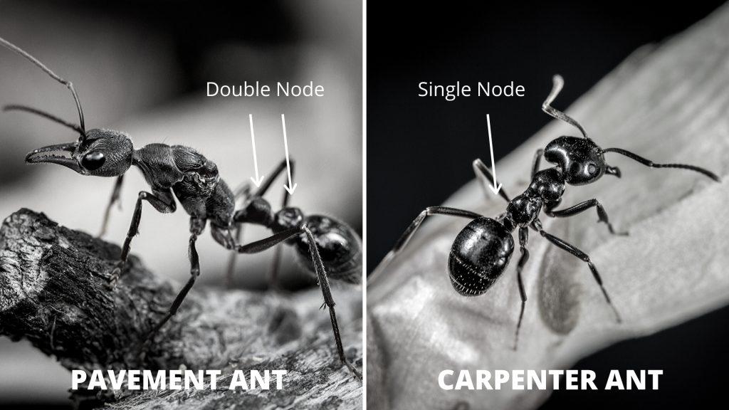 Pavement vs Carpenter Ants