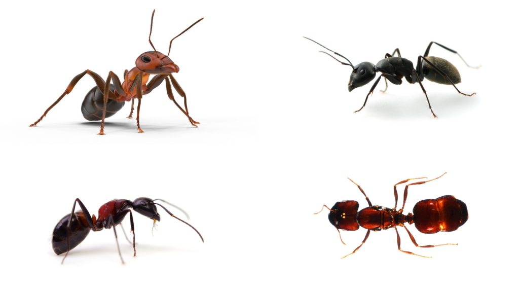 What Attracts Ants (Different Types)