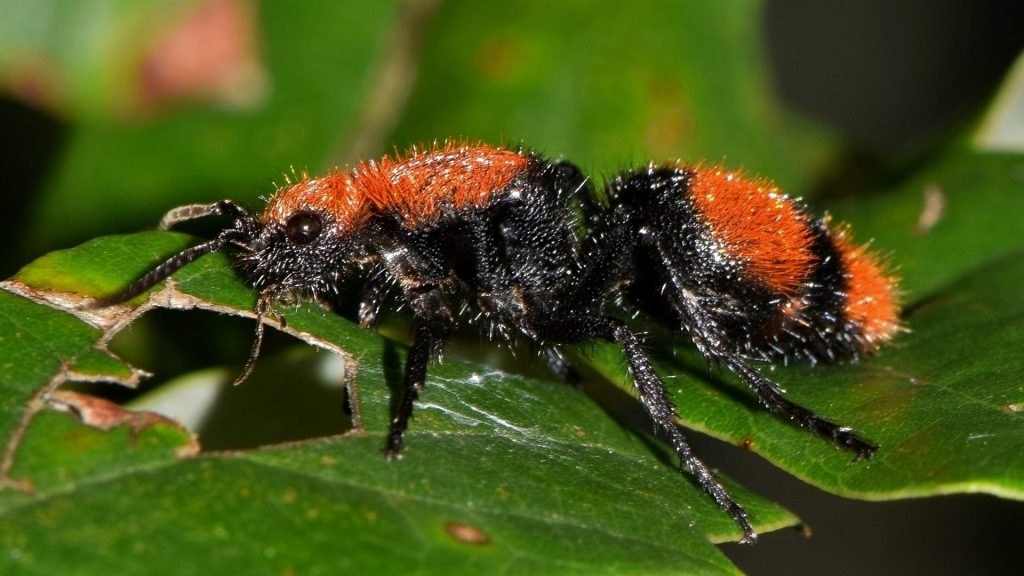 velvet cow killer ant