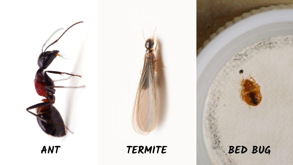 Ants Vs. Termite Size, Bed Bug Vs. Ant Size