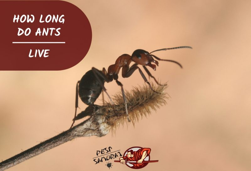 How Long Do Ants Live Ant Lifespan