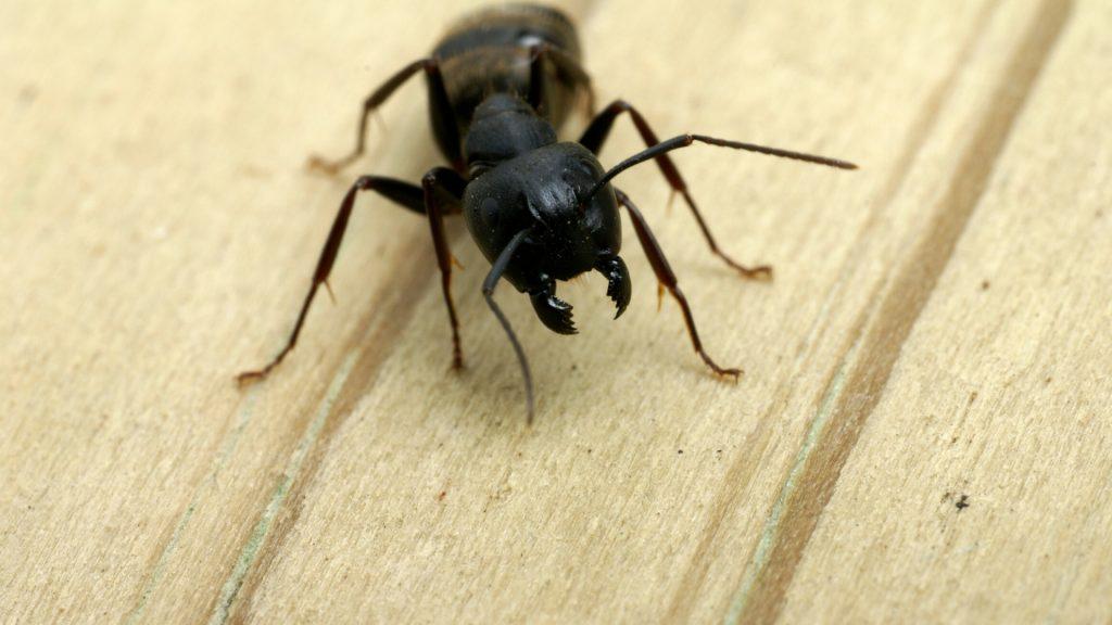 ¿Cuánto tiempo viven las hormigas carpinteras?