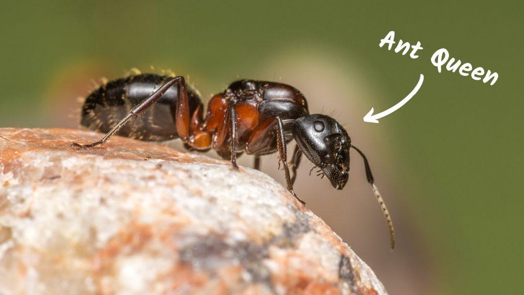 ¿Cuánto tiempo viven las hormigas reina?