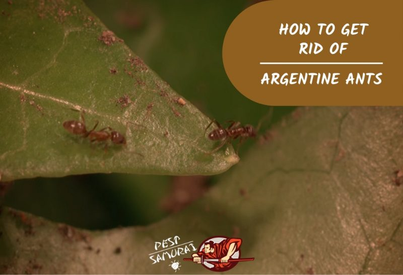How to Get Rid of Argentine Ants in Your House.