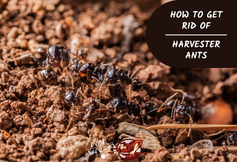 How to Get Rid of Harvester Ants