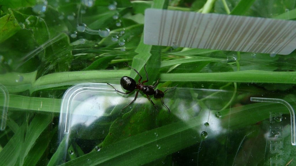 Queen Ant Size
